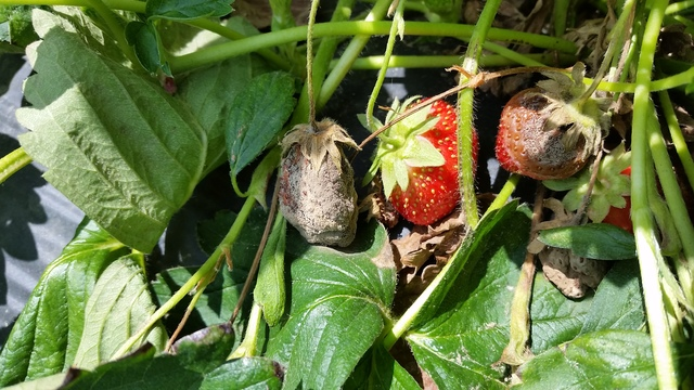 mature spread wet strawberry fruit weather berries straw botrytis rots