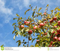 mature close up mature apple tree photographed close against summer blue sky many sunlit green leaves ripe red fruits stock photography