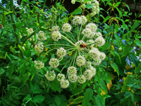 angelica mature wikipedia commons angelica archangelica how grow