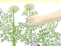 angelica mature grow angelica step aid