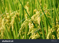 asia mature stock photo mature paddy green field asia pic