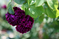 double mature rosa rosier eveque scented deep crimson purple double flowers pair mat