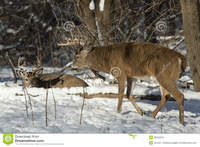 huge mature huge whitetail bucks mature buck winter walking smaller royalty free stock