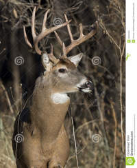 huge mature huge whitetail buck mature winter sunny day royalty free stock photo