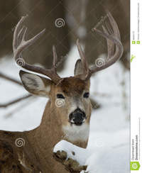 huge mature huge whitetail buck mature winter stock photography