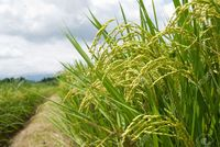 mature asia lawren mature rice field footpath taiwan east asia stock photo