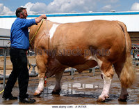 mature atk zooms ada huge bull being washed prepared country show atkr stock photo overfed