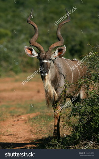 mature huge stock photo beautiful male kudu bull antelope approaching this mature species huge horns pic