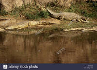mature huge comp trdt huge mature nile crocodiles banks mara river masai stock photo