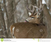 mature huge huge whitetail buck mature winter licking its fur royalty free stock