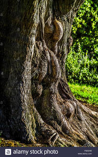 mature old comp ghb old gnarled tree trunk mature botanical gardens melbourne stock photo