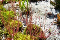 mature red yhst drosera filiformis florida red thread leaved sundew pot mature size