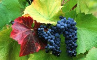 mature red wallpapers mature red grapes wallpaper