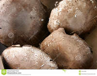mature spreads portobello mushroom portabella agaricus mature form button stipe elongates cap spreads out umbrella shape stock photo