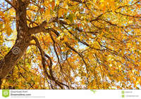 mature spreads autumn glory large mature tree spreads forth its branches flurry fall colors stock photo