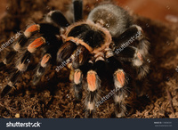 red mature hairy stock photo beautiful mature female mexican red knee tarantula brachypelma smithi eating pic