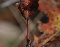red mature hairy red oak stem