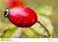 red mature red mature rosehip single ripe berry green background macro royalty free stock photos