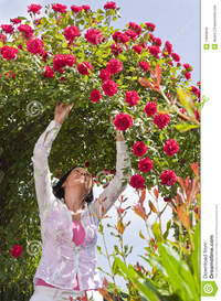 red mature mature woman garden under red roses bower stock photo