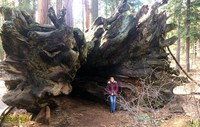 spreading mature roots downed tree awe inspiring giant sequoias calaveras trees state park