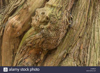 sweet mature comp ehmbj massive ancient twisted bark mature old sweet chestnut tree starting stock photo