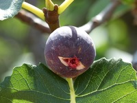 sweet mature static photo sweet fig mature tree fruit