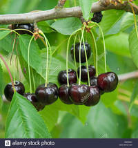 sweet mature comp ebrrmc cherry tree sweet prunus avium annabella stock photo