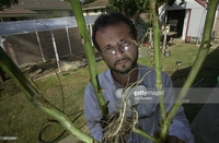 thick mature photos marvin chavez holds thick stalks mature marijuana plants grown picture detail news photo