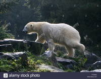 wet mature comp cma soaking wet mature polar bear ursus maritimus after surfacing stock photo